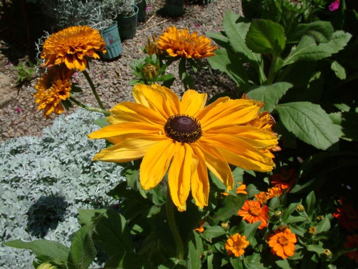 Plant photo of: Rudbeckia hirta 'Indian Summer'
