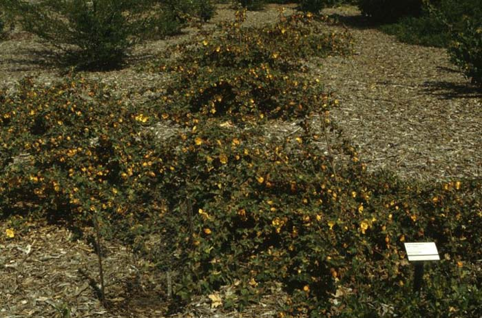 Plant photo of: Fremontodendron 'Ken Taylor'