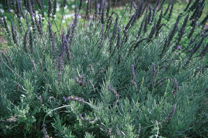 Plant photo of: Lavandula 'Goodwin Creek Grey'