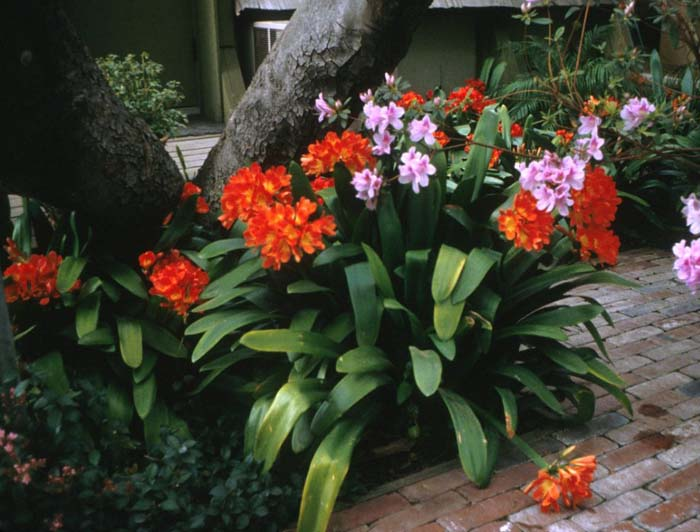 Plant photo of: Clivia miniata
