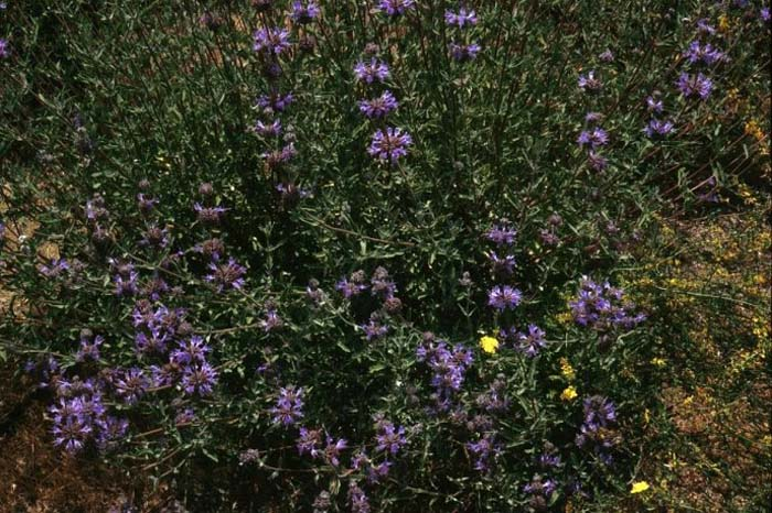 Plant photo of: Salvia 'Aromas'