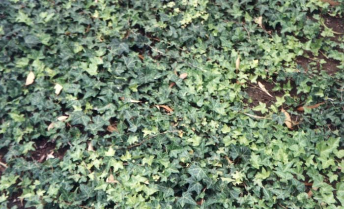 Plant photo of: Hedera helix 'Hahns'