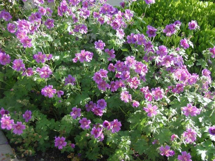 Plant photo of: Geranium X 'Magnificum'