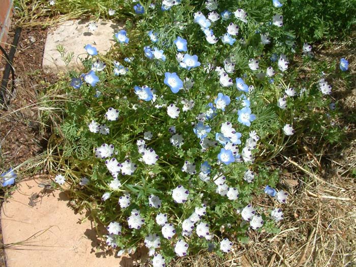 Plant photo of: Nemophila maculata