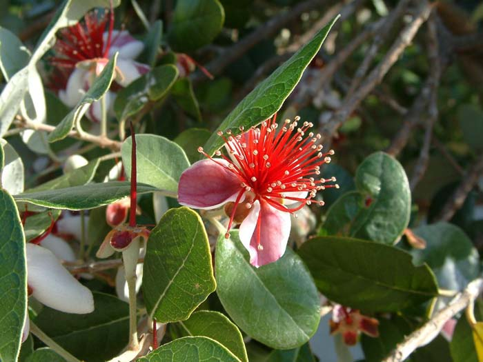 Plant photo of: Acca sellowiana