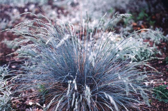 Plant photo of: Festuca amethystina 'Superba'