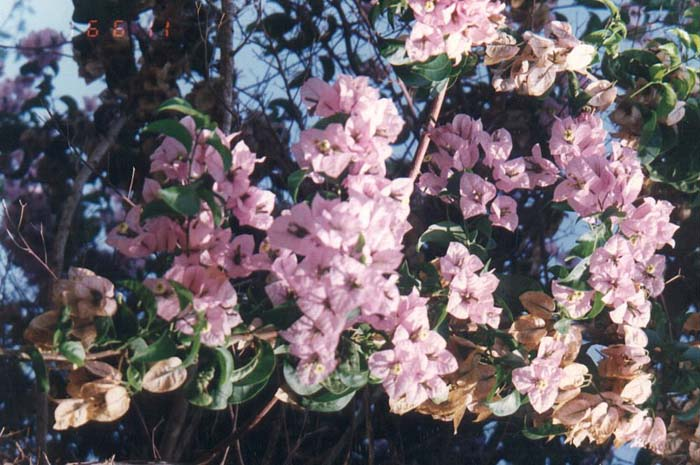 Plant photo of: Bougainvillea 'Lavender Queen'