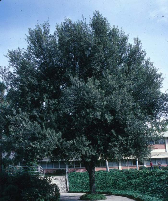 Plant photo of: Quercus ilex