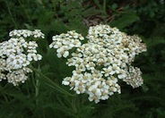 Commom Yarrow