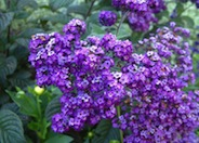 Heliotrope Black Beauty