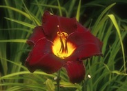 Acapulco Night Hybrid Daylily