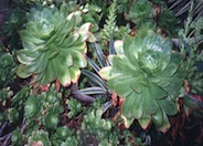 Aeonium species
