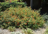 Radiation Orange Lantana
