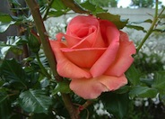 Hybrid Tea Rose (selections)