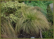 Carex albula 'Frosted Curls'