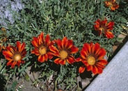 Gazania clumping 'Copper King'