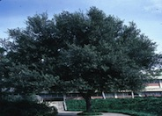 Holly Oak or Holm Oak